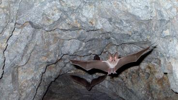 Bat flying in cave